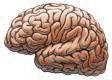 Головной мозг у человека